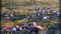 320 rennes tués en Norvège frappés par 1 éclair dans un champs !