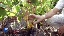 Gironde: l'été chaud ne fait pas l'affaire des viticulteurs