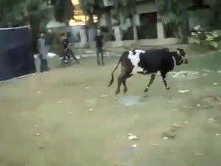 Cow Runs on Eid day Funny Pakistani Clips New Full Totay jokes punjabi urdu