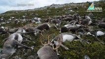 Plus de 300 rennes frappés par la foudre en Norvège