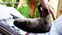 Otter - A Cute Otters And Funny Otters Videos Compilation    NEW HD