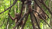 Indonésie: à l'école pour orangs-outans dans la jungle de Bornéo