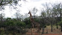 South African Giraffes- Pictues by Mack Prioleau