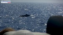 Des dauphins et baleines à portée de main au large de la Provence
