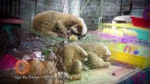 The truth behind the slow loris pet trade and  cute  tickling slow loris videos !