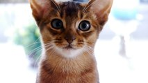 Абиссинская кошка . Кошка прелесть .