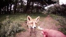 Des renards sauvages pas si sauvages que ça