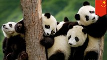 Giant pandas are endangered anymore, so does that make it OK to hunt them?
