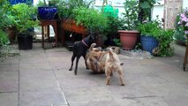 2 Border Terriers Vs One Patterdale Terrier