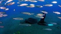 Le reve de tout plongeur : nager avec des raies manta!