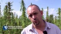 Le chanvre, cousin du cannabis, est de plus en plus cultivé par des agriculteurs