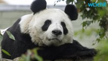 Pandas Are Off The Endangered List