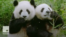 Giant pandas are officially off the endangered species list