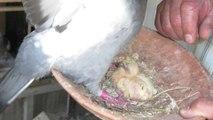 Saint-Just-en-Chaussée : avez-vous déjà vu un bébé pigeon de trois jours ?