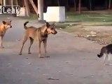 Un chat badass montre à 7 chiens qui est le patron
