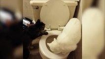 Un chat fait ses besoins aux toilettes et tire la chasse d'eau