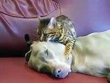Petit chat qui endort un gros chien