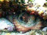 Octopus vulgaris - www.zesea.com