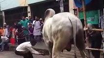 Qurbani Cow funny clips 2016-Qurbani Cow funny videos-Awesome Cow bakra kick-Men vs Cow-Youtube