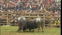 Most Awesome Buffalo Fighting Festival - Best Funny videos try not to laugh CRAZY Buffalo Fails #5