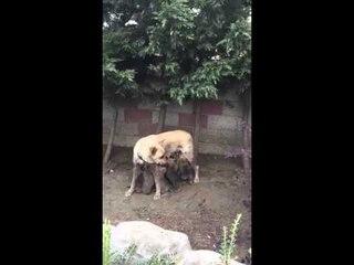 Köpek yavrularının boğaz mücadelesi