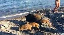 Des sangliers se baignent sur une plage sur une plage au milieu des touristes