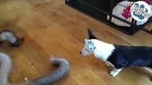 Ce chien adore jouer avec les deux furets de la famille !