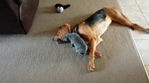 Ce chiot trop mignon joue avec un gros gros chien allongé