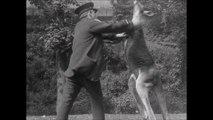 Combat aux poings entre un kangourou et un homme !