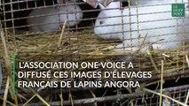 L'association One Voice diffuse des images choquantes d'élevages de lapins angora