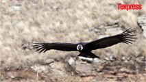 Bolivie: un condor reprend sa liberté dans la cordillère des Andes