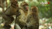 « Terre de Singes » : un nouveau parc dédié aux macaques