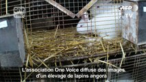 One Voice dénonce le traitement infligé à des lapins angora