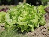 Cultiver la salade facilement - vidéo Dailymotion