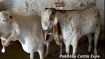 Heaviest    Bakra Qurbani    Rawalpindi    Eid ul adha    Bakra Eid