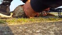 Dingue, ce canard à la patte piéພ dans une moule depuis plusieurs mois
