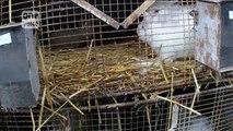 Les élevages de lapins angora sont horrible pour ces pauvres animaux!