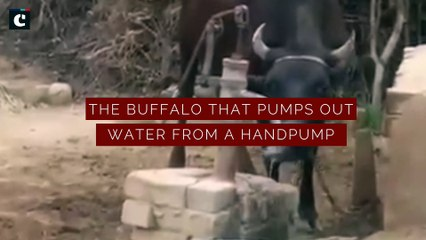 No humans required! Watch how a buffalo pumps water for itself
