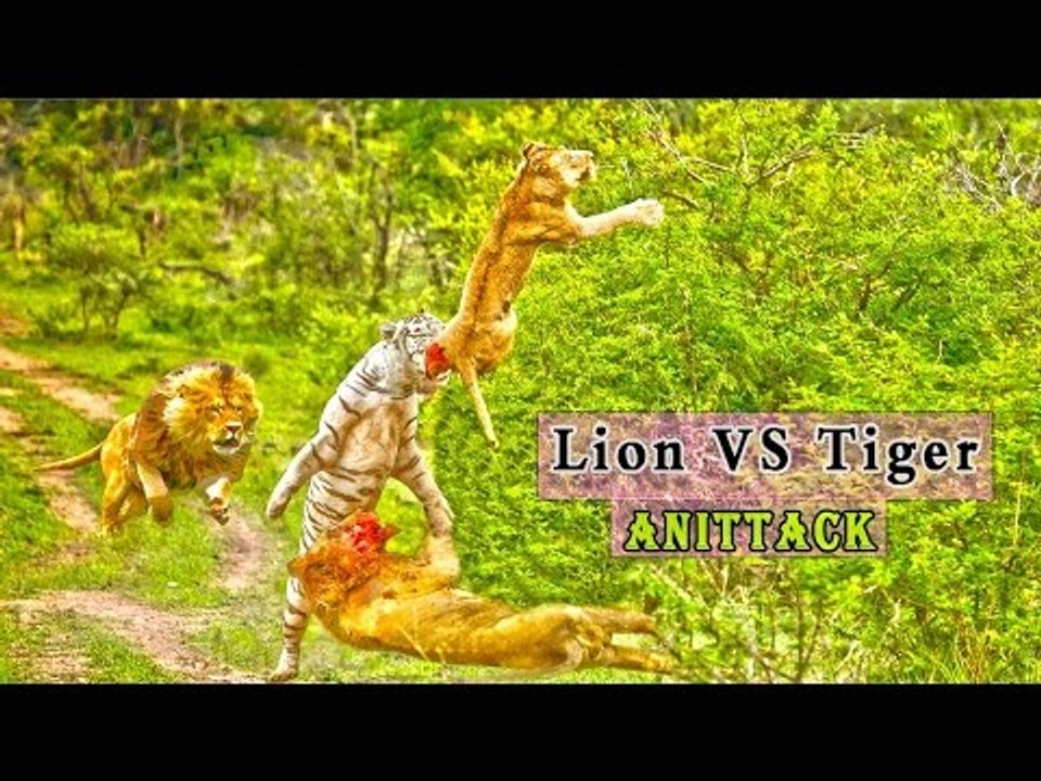 Lion Vs Tiger Real Fight Best Compilation Ever Hd Video Dailymotion