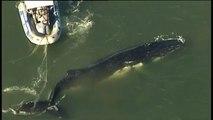 Une baleine à bosse sauvée d'un filet de pêche en Australie