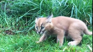 Cận cảnh loài mèo rừng có hình dáng h�