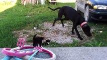 Ce gros chien est en adoration devant ces 2 petits chatons