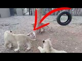 Look this  dog who shows Lions who's the boss