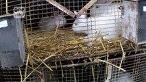Enquête - Stop à la torture de pauvres lapins angoras qui hurlent de douleur.