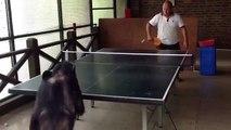Un singe qui joue au ping pong