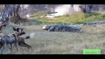 Crocodile vs Elephant,Leopard Attacks Zebra Real Fight | 15 CRAZIEST Animal Fights Caught On Camera