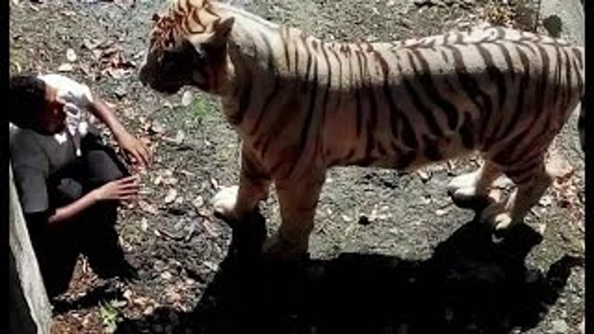 Tiger kill man zoo india