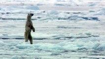 Attaque d'un ours blanc sur un phoque au Groenland !