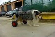 colley handicapé voiturette pour chien handicapé paralysé