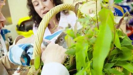 Alors quil vient de perdre sa maman ce bb koala se console en saccrochant  une peluche qui lui ressemble